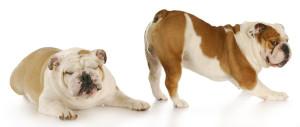 bulldog fart